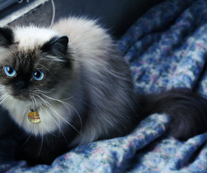 cat and blue eyes image