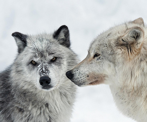 wolves and arctic wolves image