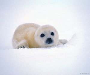 seal, snow, and animal image