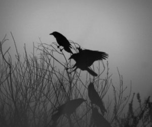 crows, grey, and mist image