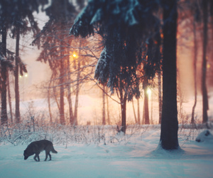 wolf, snow, and forest image