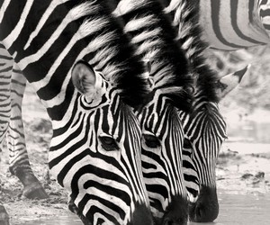 animals, black and white, and zebra image