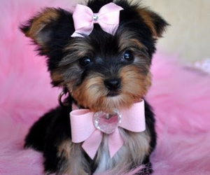 bow, yorkie, and dog image