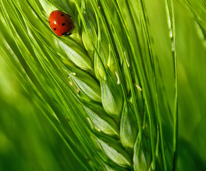 grass, lady bug, and wheat image
