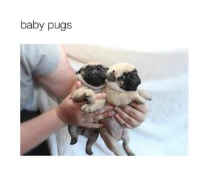 pug, cute, and puppy image