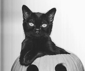 black and white, black cat, and pumpkin image