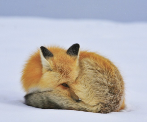 christmas, fox, and snow image