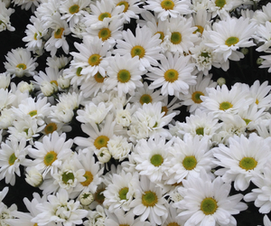 daisy, flowers, and header image