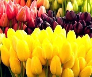 flower, tulip, and flowers image