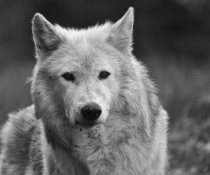 power, alone wolf, and white image