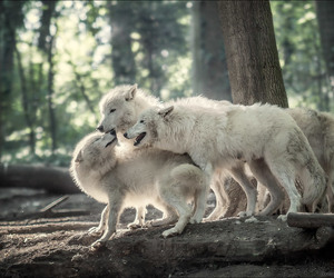 animals, wolf, and white wolf image