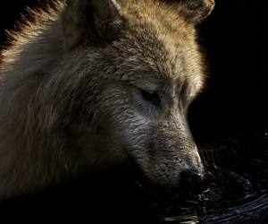 animals, dark, and wolf image