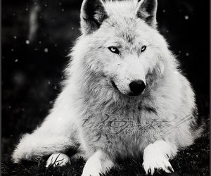 beautiful., black and white, and wolf image