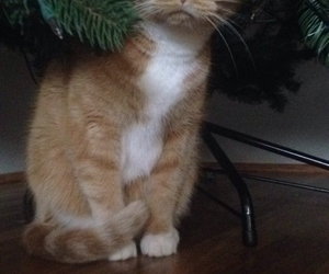 cat, christmas, and christmas tree image