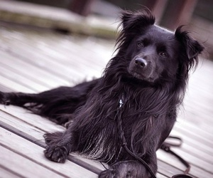 border collie, dog, and cute image