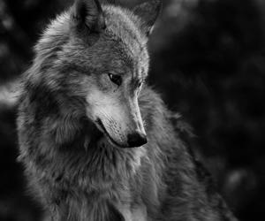 black and white, dark, and wolf image
