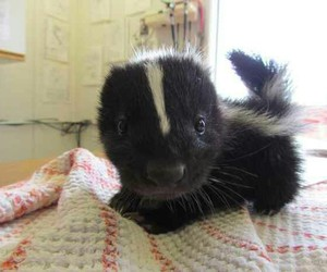 cute, skunk, and baby image