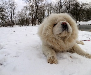 chow chow, dog, and snow image