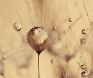 dandelion, flower, and nature image