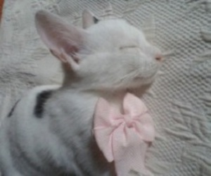 bow tie, cat, and pink image