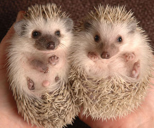 cute and porcupines image