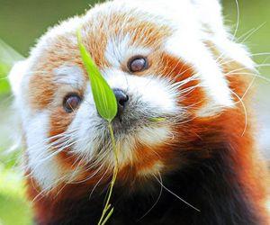 Red panda, animal, and cute image