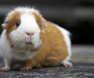 baby, cut, and guinea pig image
