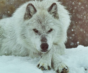 wolf, winter, and animal image