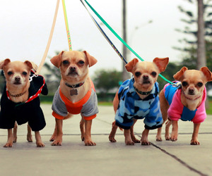 canon, chihuahuas, and dogs image