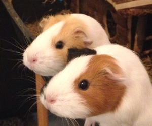 black, pets, and guineapigs image