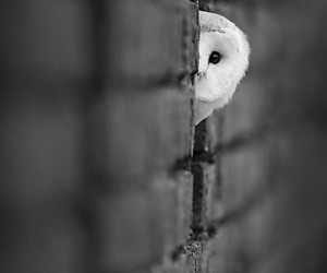 black and white, owl, and white owl image
