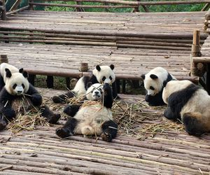 animals, lovely, and pandas image