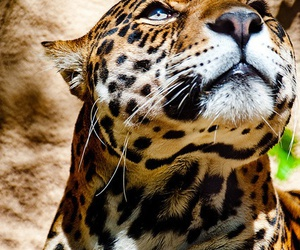 cat, leopard, and tiger image