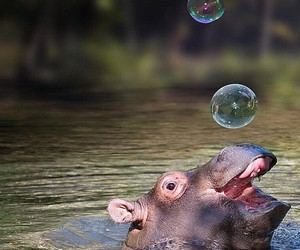 animal, hippo, and bubbles image
