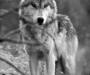angry, nature, and wolfs image