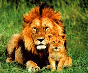 lion, nature, and beautiful image