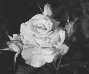 balck and white, beautiful, and flower image