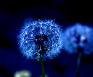 blue, light, and dandelion image