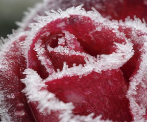 frost, rose, and winter image