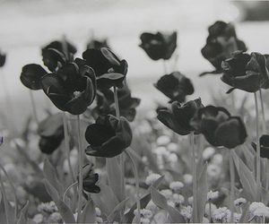 beautiful, rose, and black and white image