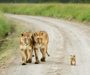 animal, lion, and family image