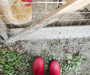 chickens, hens, and garden image
