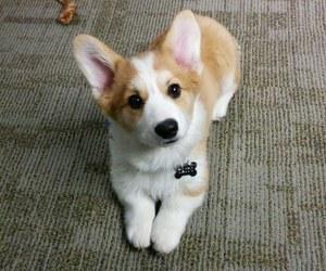 baby animals, corgi, and cute animals image