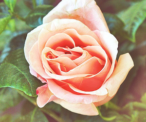 flower, pink, and rose image