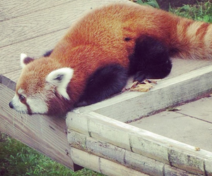 animals, pandas, and red image
