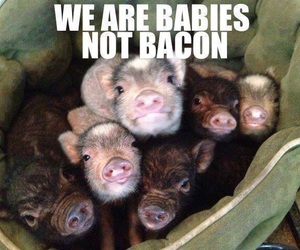 pig, pigs, and piglet image