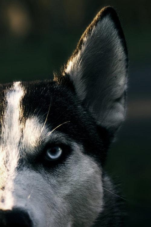 animal, dog, and wolf image
