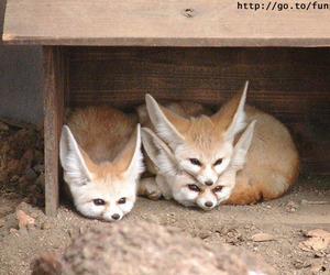 animal, fox, and funny image