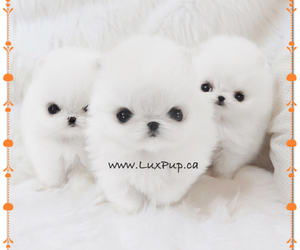 boo, pomeranian, and cute puppies image