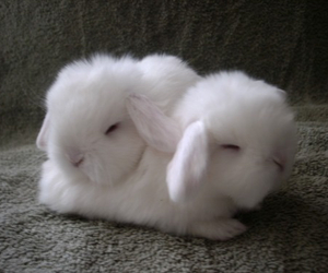 bunnies, cute, and fluffy image